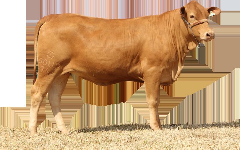 Animal Gold